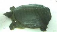 Ba Ba - Hàng 1(1.5-3.0kg)